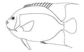Pomacanthidae